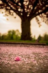 Until next year (_Matt_T_) Tags: smcpda55mmf14sdm sakura spring cherry blossoms fallen pink petals litter niagaraonthelake ontario canada ca