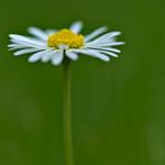 Daisy in the Green thumbnail