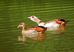 Nilgans-Paar (anubishubi) Tags: vogel bird gans nilgans wasservogel nikoncoolpixs9900