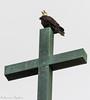 Bald eagle on Mt. Loretto Church Cross - Staten Island, New York (superpugger) Tags: baldeagle baldeagles eagle eagles raptor raptors statenislandbaldeagles birdsofprey statenislandwildlife eagleoncross mtloretto