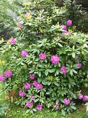 Rhodo time (karma (Karen)) Tags: baltimore maryland home backyard plants rhododendrons blossoms cmwsd