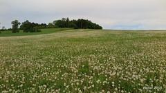 2018-05-02 07.29.05 (elenor martin) Tags: dandelion spring landsccape green