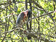 Green Heron (Rutland County Audubon) Tags: 2018 spring vermont heron greenheron cadwellloop pittsford rutlandcountyaudubon rutlandcounty