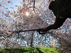 Cherry Tree (KaDeWeGirl) Tags: newyorkcity bronx botanical garden nybg cherry tree spring flowers blossoms branch pink sun