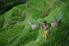 farmer_DSC6159 (Yande Ardana) Tags: bali ricefield farmer