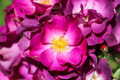 Maig_0119 (Joanbrebo) Tags: españa es barcelona park parque parc parccervantes garden jardí jardín rose rosa flors flores flowers fiori fleur blumen blossom canoneos80d eosd efs18135mmf3556is autofocus