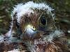 Falco tinnunculus baby (Vid Pogacnik) Tags: slovenia slovenija sava zarica falcotinnunculus bird baby wildlife