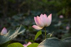 A lotus (@CuongDo) Tags: hoasen sen light lake lá leaf yellow dew lotus flower flowers natural vietnam dongsen sony sonya7mark2 ilcea7m2 mf floral bokeh httpswwwfacebookcomdochicuong76