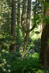 Cecil and Molly Smith Rhododendron Garde, Oregon (David A's Photos) Tags: cecilandmollysmith rhododendrongarden saintpaul oregon flowers rhododendrons garden plants april 2018 cecil molly smith americanrhododendronsociety