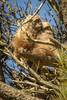 ~It's Snuggle Time~ (cheryl c.) Tags: greathornedowls inthepinetree snuggling bluesky outonalimb spring poem originalpoem sometimesicrackmyselfup throughherlens canon7d