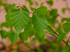 Silver birch leaves (Raoul Pop) Tags: home leaves spring silverbirch