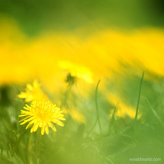 dandelion bokeh (ewaldmario) Tags: at plant flower meadow löwenzahn blume wiese makro closeup nikon ewaldmario d800 micro nikkor dandelion green yellow grün gelb bokeh dof bright taraxacum lasenburg österreich niederösterreich focus narrowfocus giallo verde