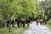 En el camino (Jabi Artaraz) Tags: pottokas urkiola primavera udaberria euria lluvia