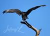 Wingspan (J_Dubb94) Tags: black vulture birds animals wildlife wings