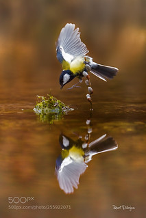 Great tit in balance