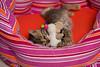 schafattack (mwo_w_GERMANY) Tags: chatelou chateloude mario wolff mwoaqwode aqwocom aqwode wwwaqwocom wwwaqwode wallpaper kitten bengal bengalkatze kätzchen spielen niedlich cute chaton