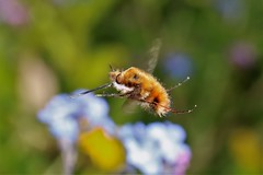 Bee Fly (ashperkins) Tags: flydayfriday fly dipteria darkedgedbeefly bombyliusmajor ashperkins macro inflight inthegarden graig glanconwy northwales