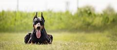 Waiting fellow (zola.kovacsh) Tags: outdoor animal pet dog dobermann doberman pinscher ipo schutzhund grass meadow portrait