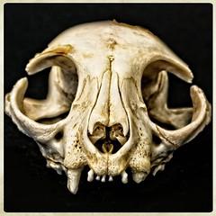 HERE'S LOOKING AT YOU (akahawkeyefan) Tags: skull kingsburghistoricalpark davemeyer bones teeth