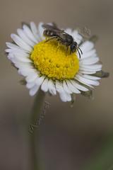 Margarita polinizada (Manuel Angel Alvarez) Tags: margarita polinización polinizacion sierra huetor insecto flor flora flower polen insect pollination pollen
