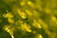 ウマノアシガタ Buttercup (takapata) Tags: sony sel90m28g ilce7m2 macro nature flower