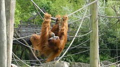 Enjoy the Day! (BrigitteE1) Tags: orangutan zoomerlebnisweltgelsenkirchen video fun