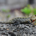 Galle - Oriental Lizard