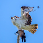 osprey with fish 7 thumbnail