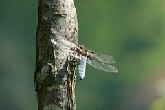 broad-bodied chaser (Lucinda3333) Tags: dmcfz1000 panasoniclumix dragonfly broadbodiedchaser libelluladepressa platbuik
