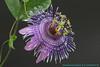 Nuovo ibrido. Passiflora 'Morning Star' H. Wouters  x P. sprucei Masters. (FlosPassionis) Tags: passiflora ibrido