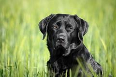 Mai Girl (uwe.kast) Tags: labrador labradorretriever labradorredriver hund haustier dog bichou bokeh black gras canon canon750d ef70200mm