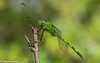 great pondhawk (explored 5/12/2018) (robert salinas) Tags: austin texas unitedstates