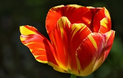 Tulip Remembrance (AnyMotion) Tags: tulpe tulip tulipa blossom blüte petals blütenblätter bokeh 2018 floral flowers blumen plants pflanzen anymotion frankfurt garden garten spring frühling primavera printemps natur nature colours colors farben red rot yellow gelb 7d2 canoneos7dmarkiii excellence