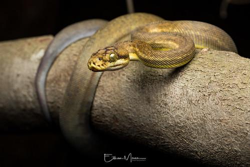 Timor Python (Python timoriensis) | Rinca Island