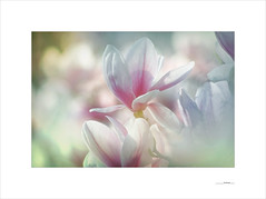 Printemps (E. Pardo) Tags: printemps primavera frühling spring flores formas flowers formen forms blumen colores colors farben luz light licht magnolios magnolia admont steiermark austria