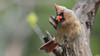 Cardinal (female)-6759 (Paul McGoveran) Tags: cardinal nikond500 nikon200500mmf56 burlington bird hendriepark