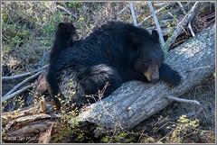 Black Bear Family 6859 (maguire33@verizon.net) Tags: yellowstone yellowstonenationalpark bear bearcub blackbear cub mother motherhood wildlife