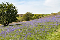 Bluebells at Holwell Lawn (Keith in Exeter) Tags: bluebell field dartmoor nationalpark devon flower grass tree landscape sky hill