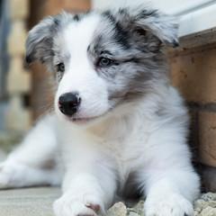 Skye. (Mark Boadey) Tags: amy carl dog border collie puppy skye