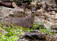 Arizona Deer (dbking2162) Tags: mountains maderacanyon arizona deer wildlife nature nationalgeographic green animal whitetail muledeer eyes