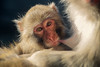Mother's Milk (Oddernod) Tags: baby lincolnparkzoo monkey snowmonkey japanesemacaque