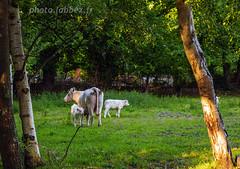 Veau de Normandie (louis.labbez) Tags: labbez vache normandie veau gerbe countryside campagne élevage arbre tree animal cow lait fattouville france