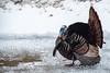 Snow Turkey (Sharky.pics) Tags: 2018 waukeshacounty snow wildlife waukesha wildturkey april