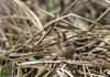 9Q6A9617 (2) (Alinbidford) Tags: alancurtis alinbidford brandonmarsh nature wildbirds wildlife wren