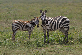Mother Zebra with Colt