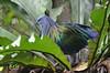 Nicobar pigeon (Malaysia) (|kris|) Tags: nicobarpigeon malaysia pigeon animalia chordata aves columbiformes columbidae caloenas animal bird wildlife forest dove asia green grey caloenasnicobarica cnicobarica nature