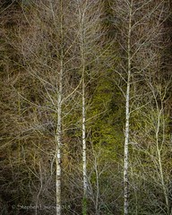 Birch (Stephen_Lavery) Tags: birch trees nature woodland