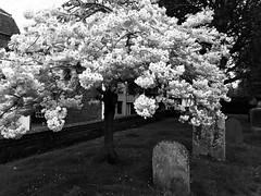 beginnings and endings (m_big_b) Tags: grave 7dwf hss tree graveyard cemetery spring england rye