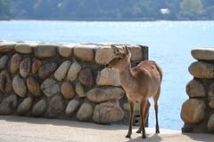 Santuario di Itsukushima - isola di Miyajima (ELENA TABASSO) Tags: miyajima itsukushima giappone japan viaggio viaggi travel isola