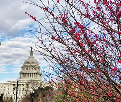 pink branches (ekelly80) Tags: dc washingtondc february2018 capitol capitolhill dome nationalmall view flowers branches pink buds spring earlyspring
